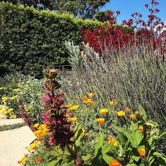 Spring in the city- California native-ish garden in Santa Monica #groundswelland #californianativeplants ##hummingbird #landscape #pollenators