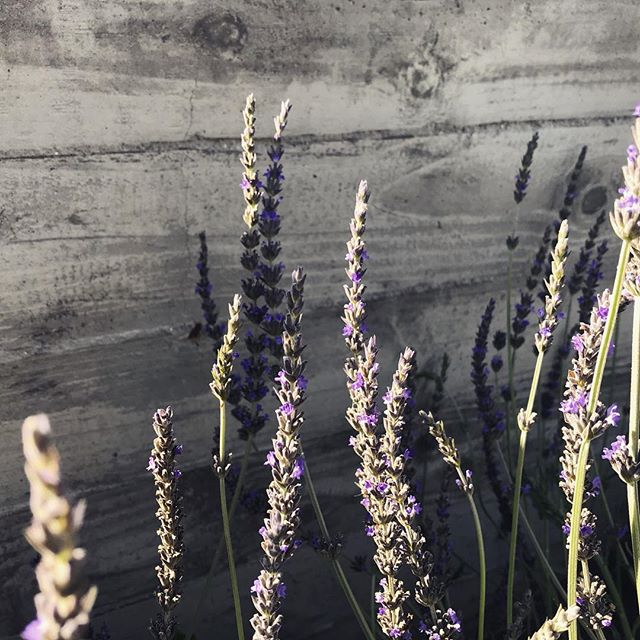 Lavender and board formed concrete... #marvista #losangeles #groundswelland #landscape