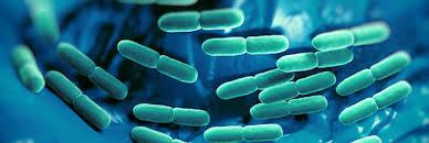 bacterie lactiques.jpg
