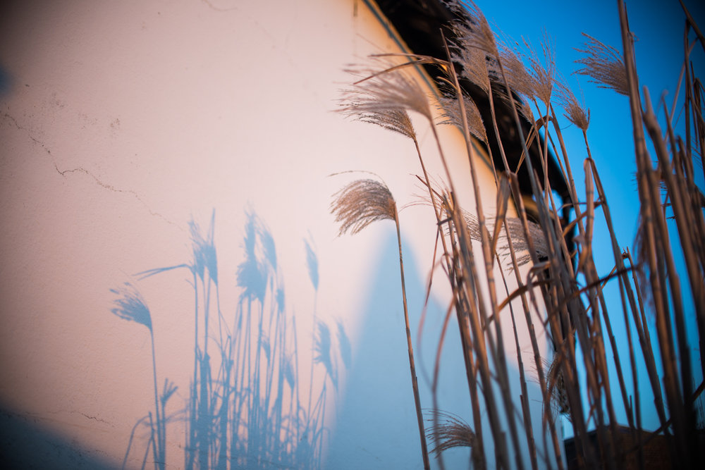 Miscanthus, Hastings Old Town