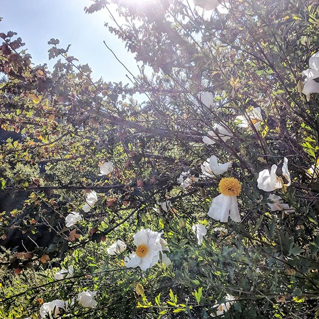 Can a photo capture a fragrance? Gasping, finished a sprint right in front of these, and the glorious aroma filled my head. Incredible. . . . #mornings #goplayoutside