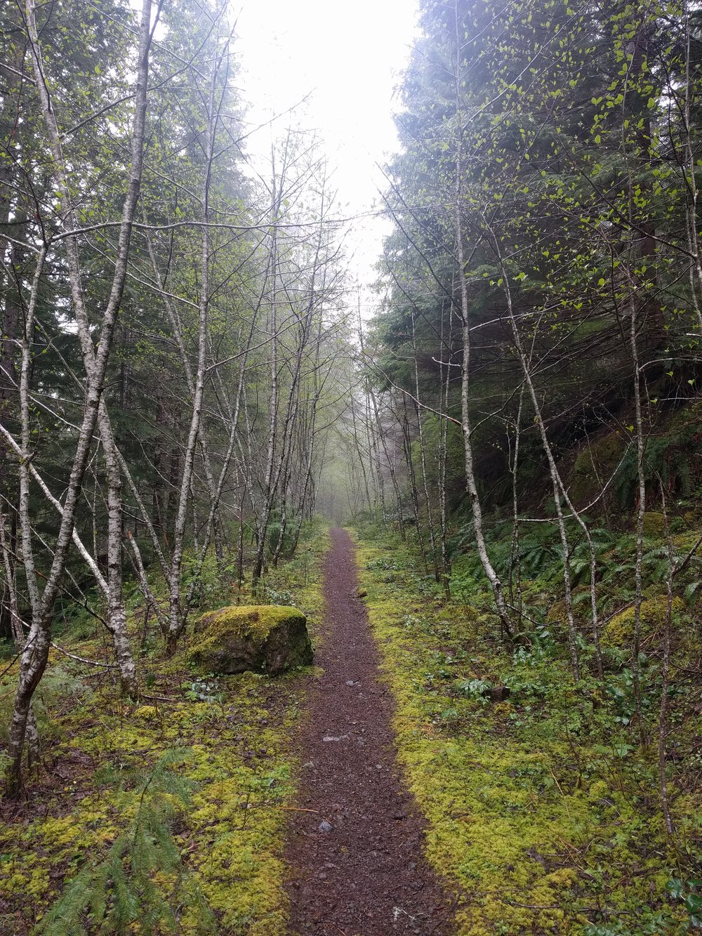 A young birch grove lining the trail.