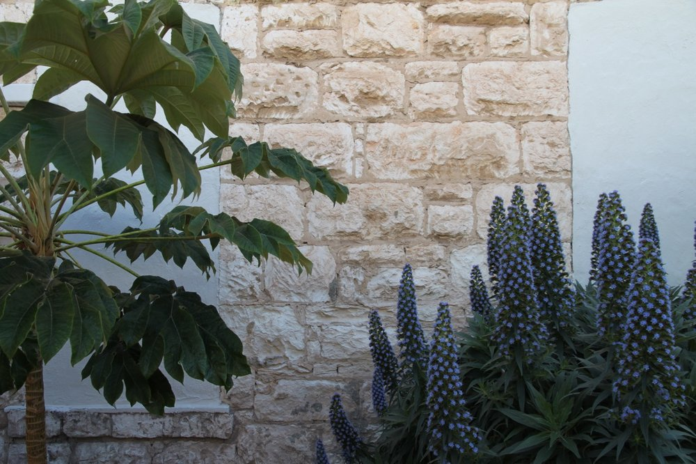 Echium candicans and Tetropanex - Sorrento, Victoria