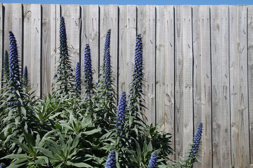 Echium candicans in full sun