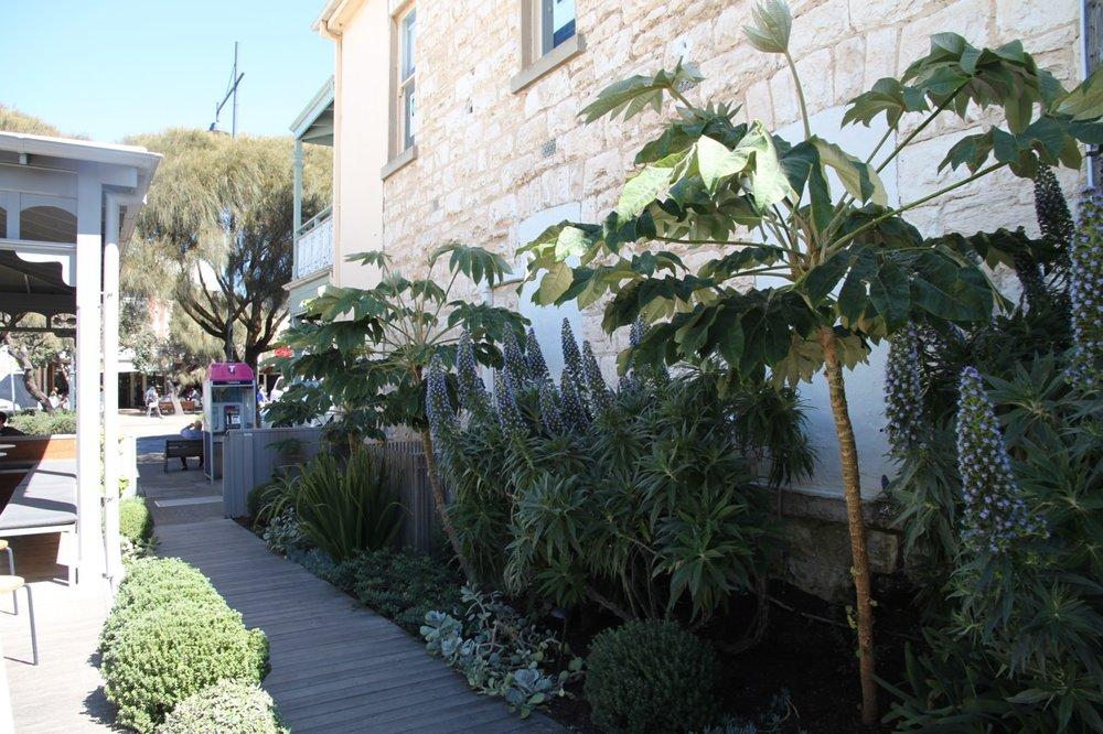Echium candicans- Sorrento, Victoria
