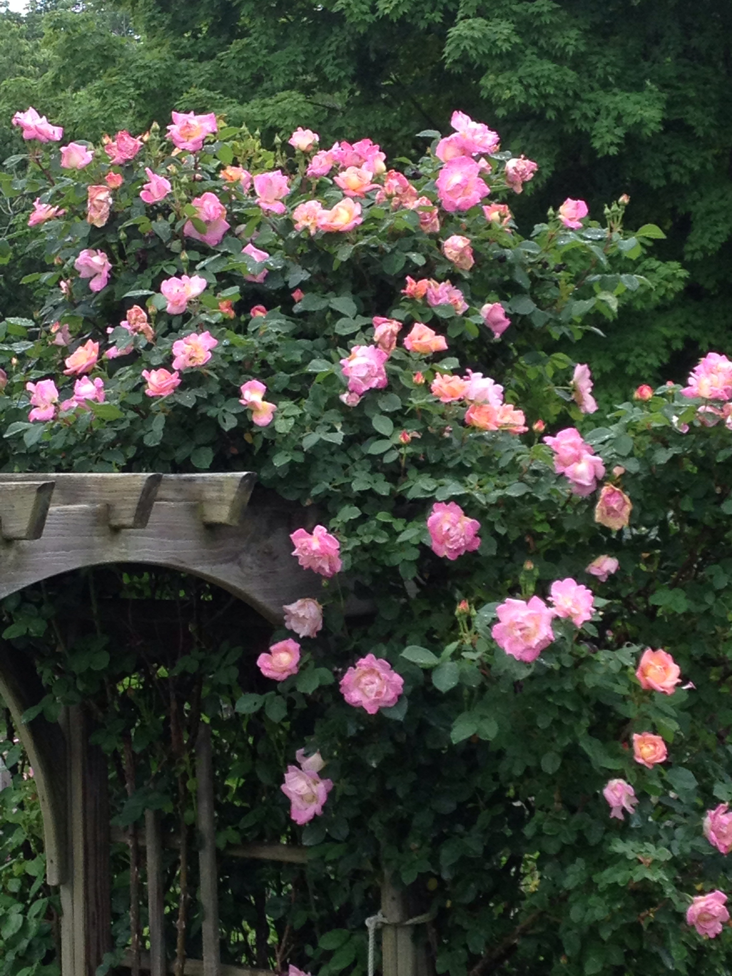 The climbing roses over the arbor this Spring.