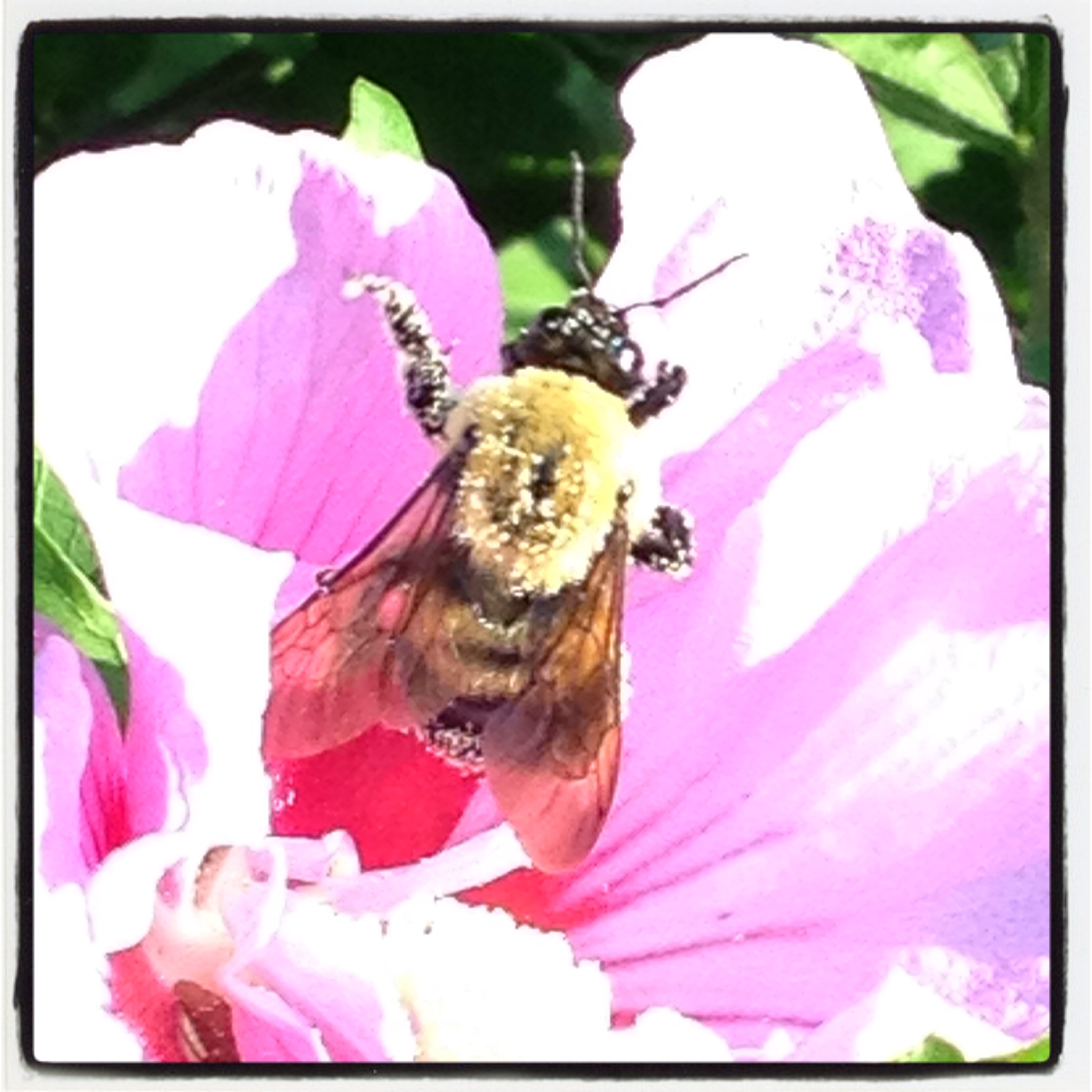 A pollen covered bumble in one of the rose of sharon blooms.
