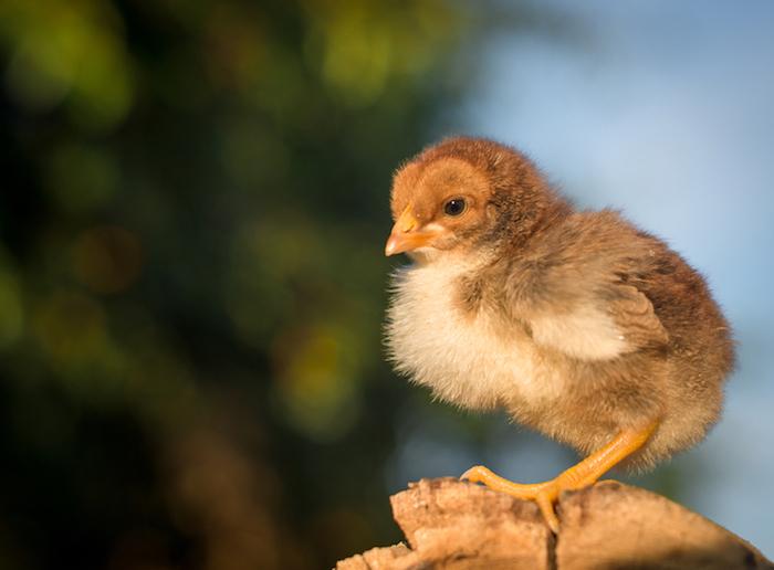Baby Chick_small.jpg