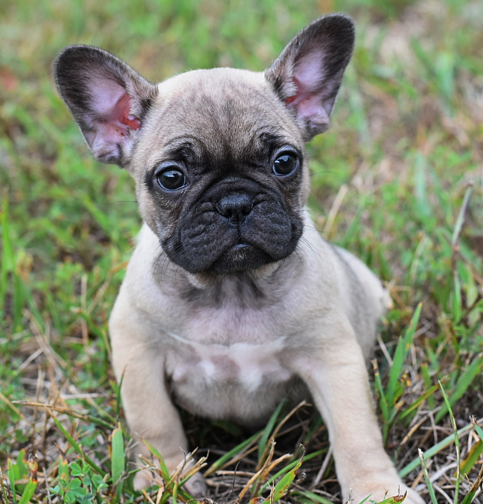 Frida   She is a sable with hints of blue. Her momma is Mabel,the love of our frenchie lives. She will be available 8/25 . Contact us for details.