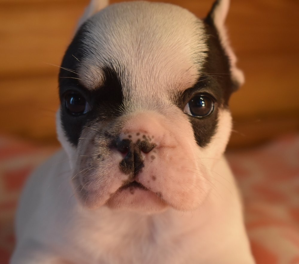 Weston, male, born 10.1.18.Black and white piebaldDam: CandyStud: Gangster -
