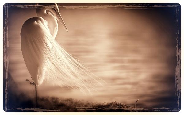 White-heron.jpg