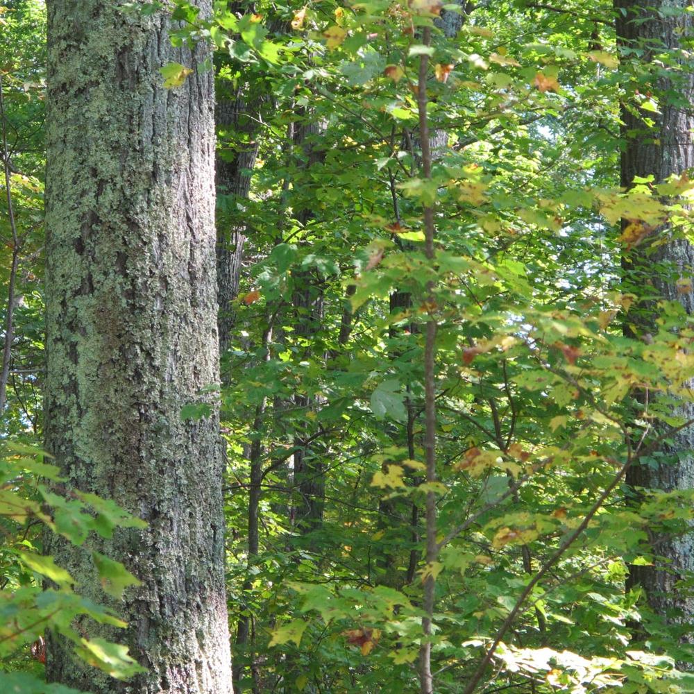 Quabbin-oak-forest-sm.jpg