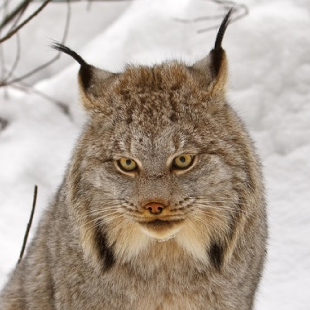 Canada lynx poster cr pd USFWS.jpg