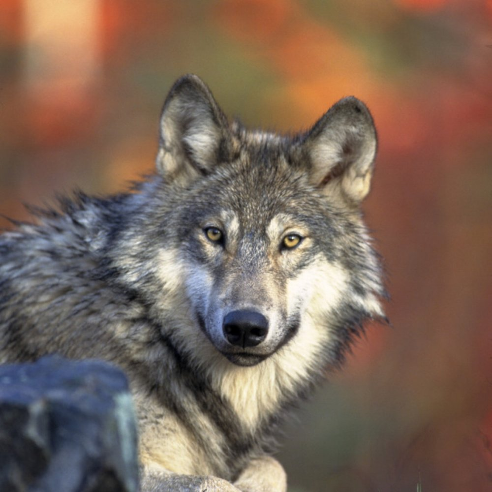 Gray wolf (