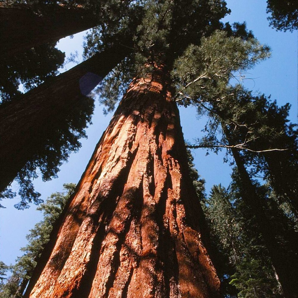 Giant Sequoia Yosemite NP mjk crop 1975sm copy.jpg