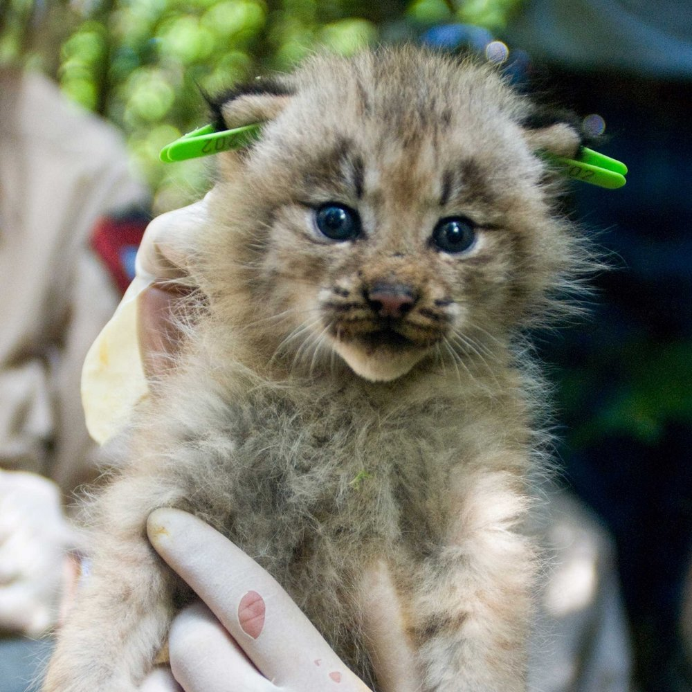 Canada lynx ( Lynx canadensis)  kitten, USFWS