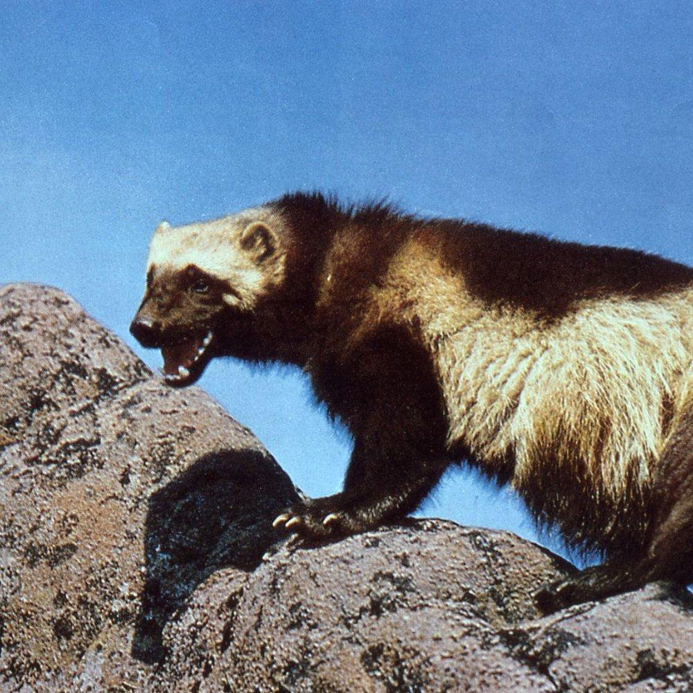 Wolverine ( Gulo gulo) , USFWS