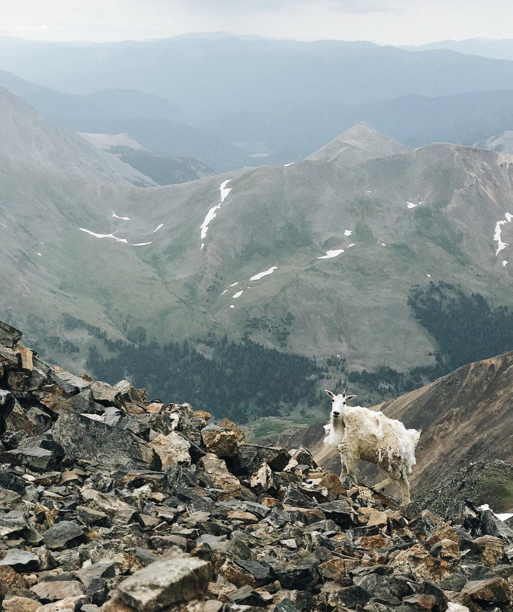 White Mountain Goat