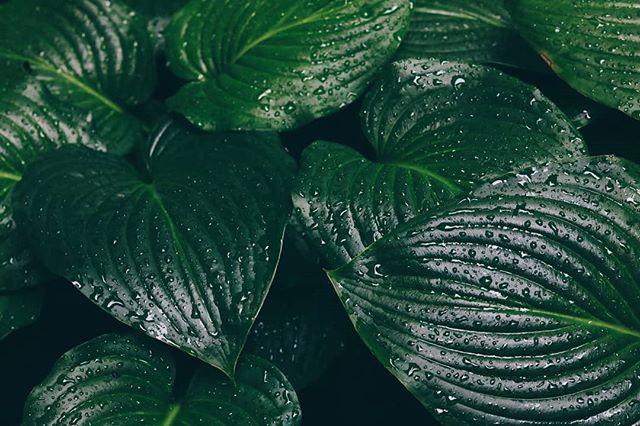 • Kakvo je vreme kod vas, ima li kiše? Snega? 😑 I kako preživljavate? Prija li vam ovo osveženje? 🌿 • . . . #cvece #lisce #zeleno #kisa #kisnidan #suma #basta #biljke #priroda #zelenolisce #biggreenleaves #rainy #kuvamososmehom