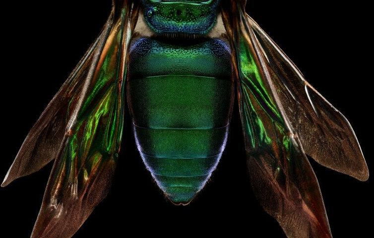Levon Biss photograph of Orchid Cuckoo Bee