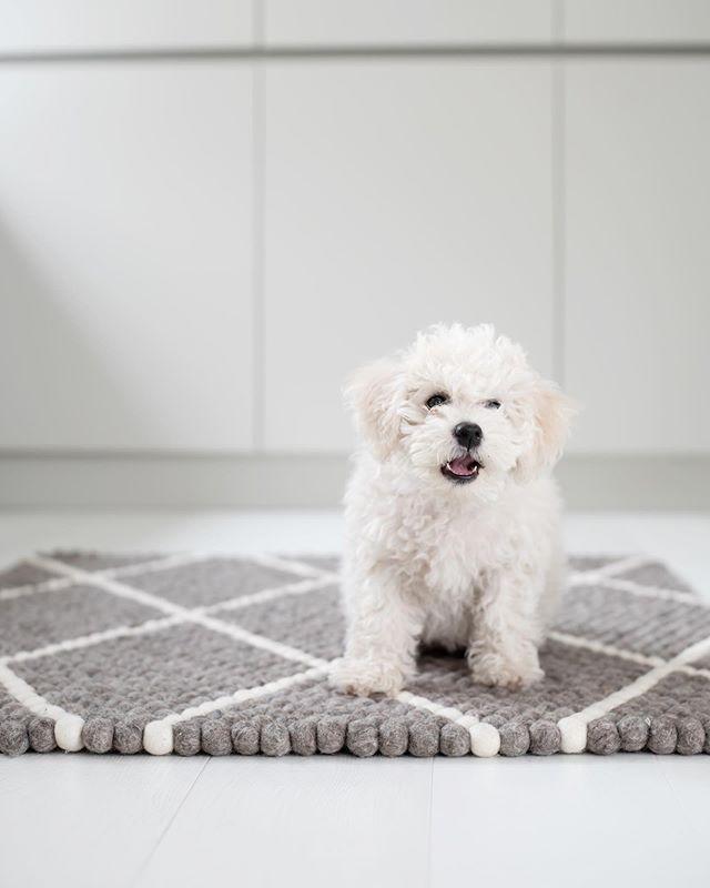 Hi! I'm new here 🐾 Uusi perheenjäsenemme esittäytyy, 10-viikkoinen koiranpentu Nella. Pentuarki on lähtenyt vauhdikkaasti käyntiin ja kaikenlainen riehuminen ja pureskelu ovat ihan parasta 😅 Ihana löhöpaikka löytyi kauniilta @sukhimatot huopapallomatolta. Oletteko jo tutustuneet heidän mattoihinsa? Aivan ihania ja mikä parasta, ovat ne myös käsintehtyjä puhtaasta, myrkyttömästä villasta. Käy tutustumassa, suosittelen 🖤 . . . . #sukhi #huopapallomatto #yhteistyö #myhome #mitthem #bichonfrise #nella #instadog #scandinavianhome #nordichome #greykitchen #interior #interior4all