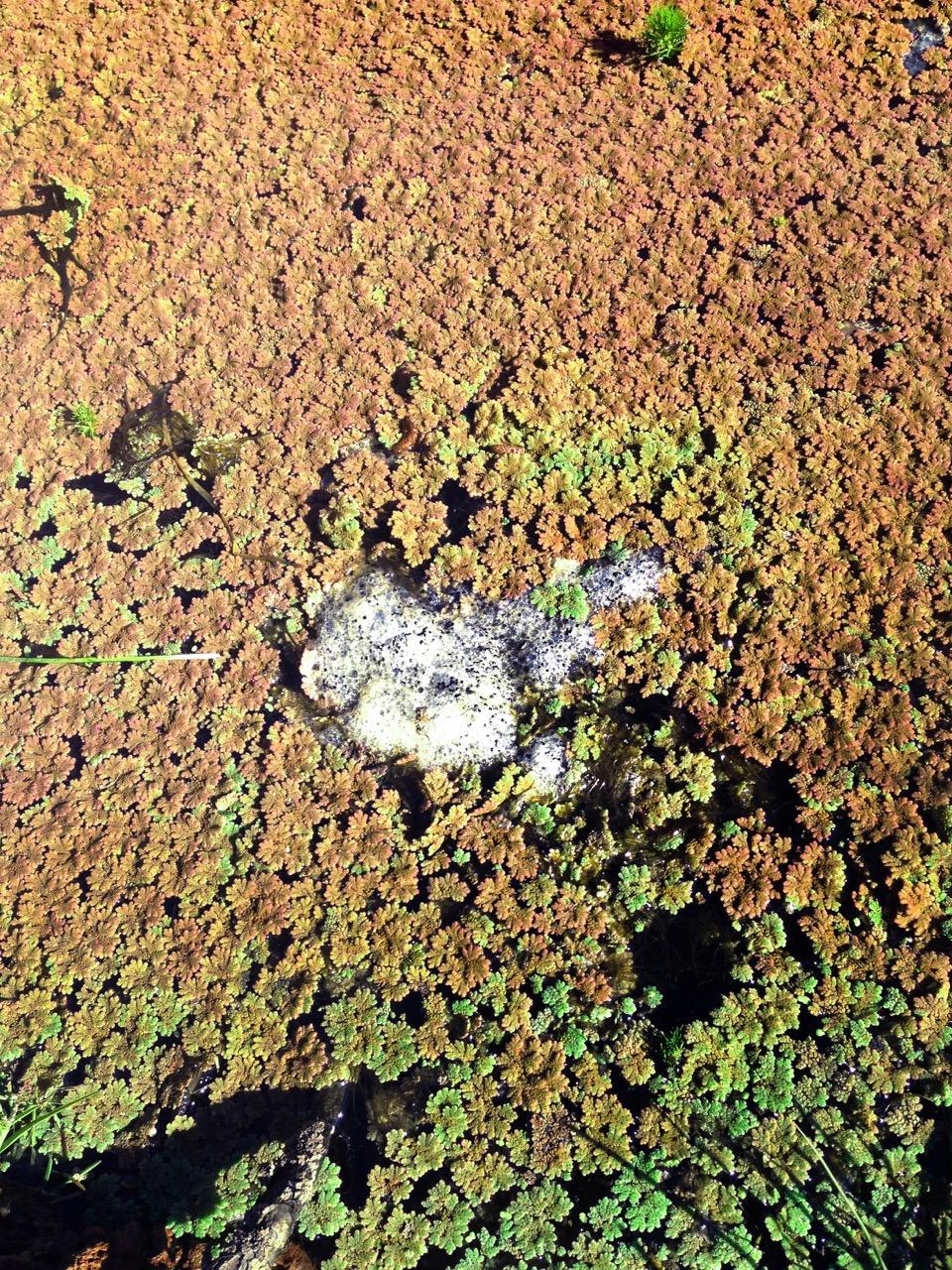 melbourne_frog_eggs.jpg