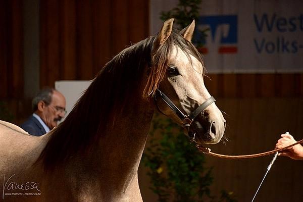 """Feria de cría de caballos alemana 2015  - En 2015 participamos con cuatro de nuestros caballos de cría en el """"Concurso Central Del Caballo PRE"""" en Alpenrod. Flamenco, Athos, Aramis y Bolero obtuvieron clasificaciones muy altas y gustaron mucho al jurado."""