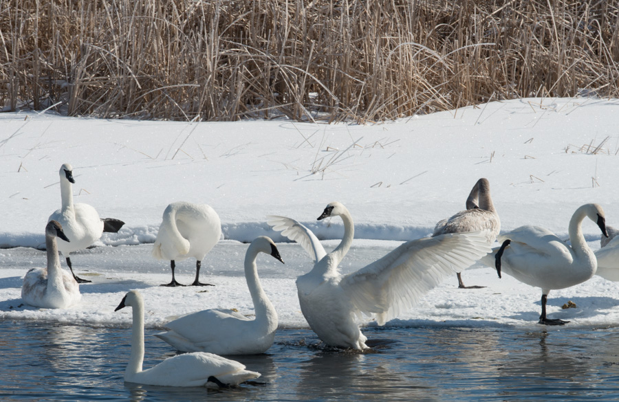 Swans - Minnesota