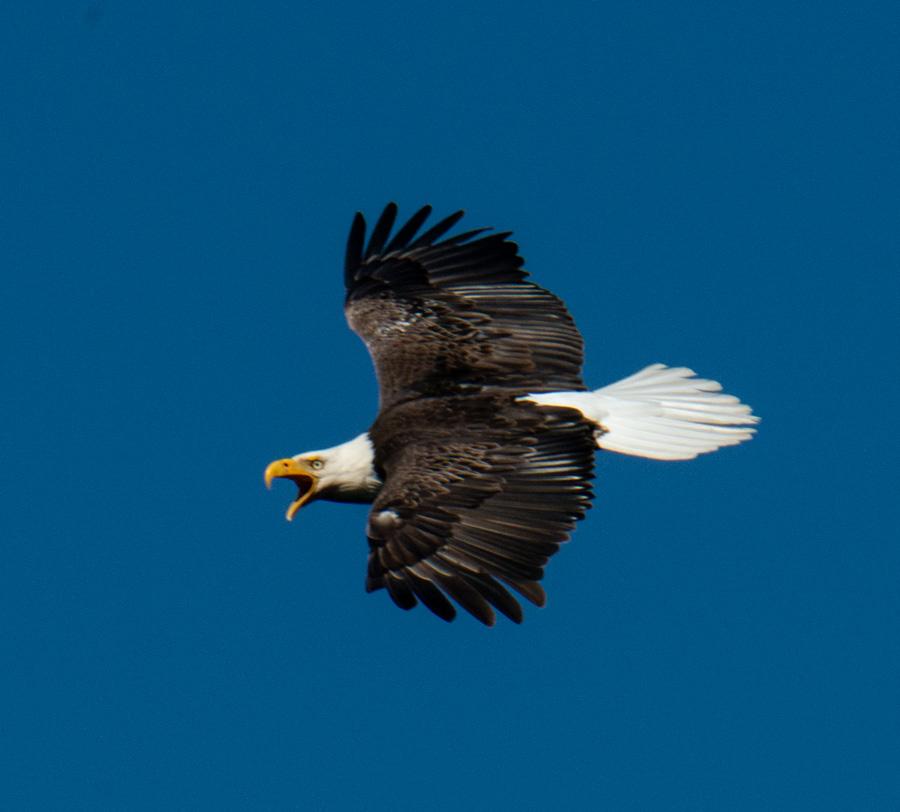 Bald Eagle 2018