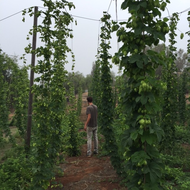 Jordan Brownwood tending hops at Nopalito Farm & Hopyard. Photo by M. Brownwood.