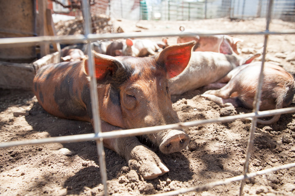 Cook Pigs Ranch Brings Healthy And Happy Heritage Pigs From Farm To - Farm to table san diego
