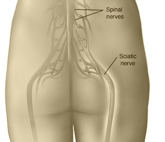 Sciatic Nerves