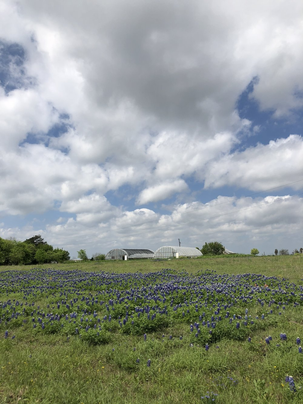 Bluebonnets at Grassdale