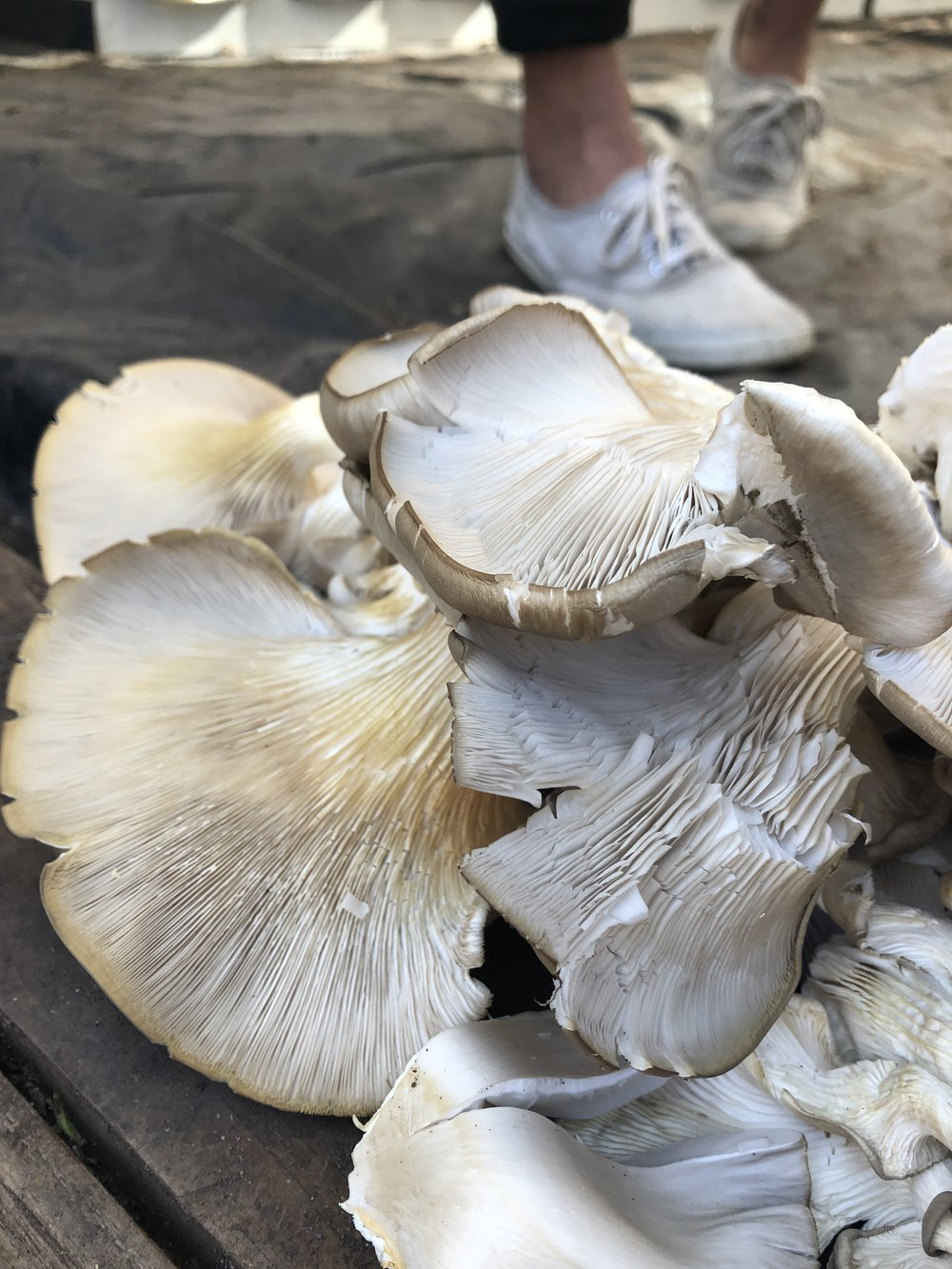 Harvested oyster mushrooms