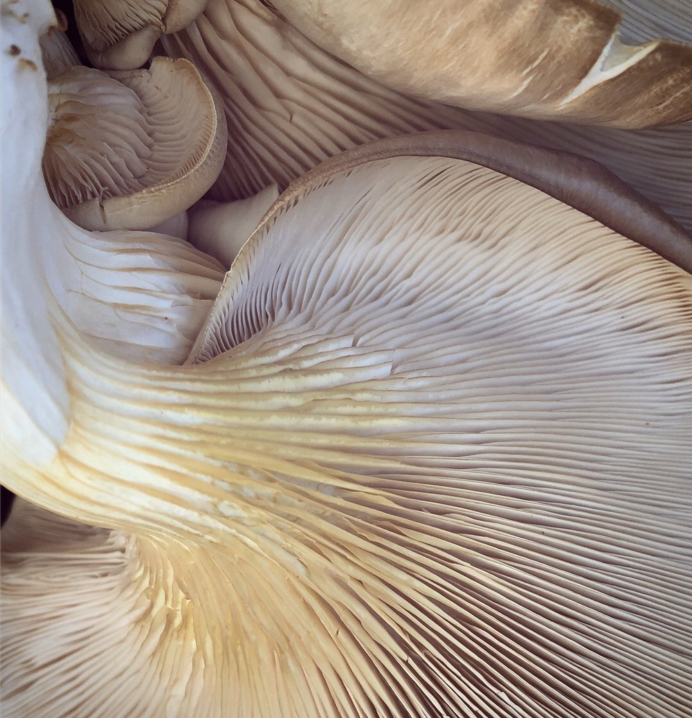 Oyster mushroom gills