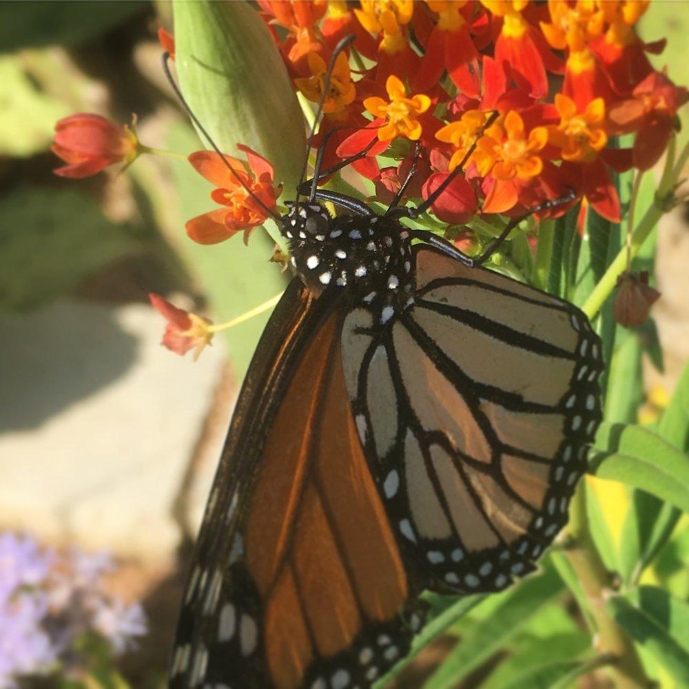 Monarch on tropical milkweed