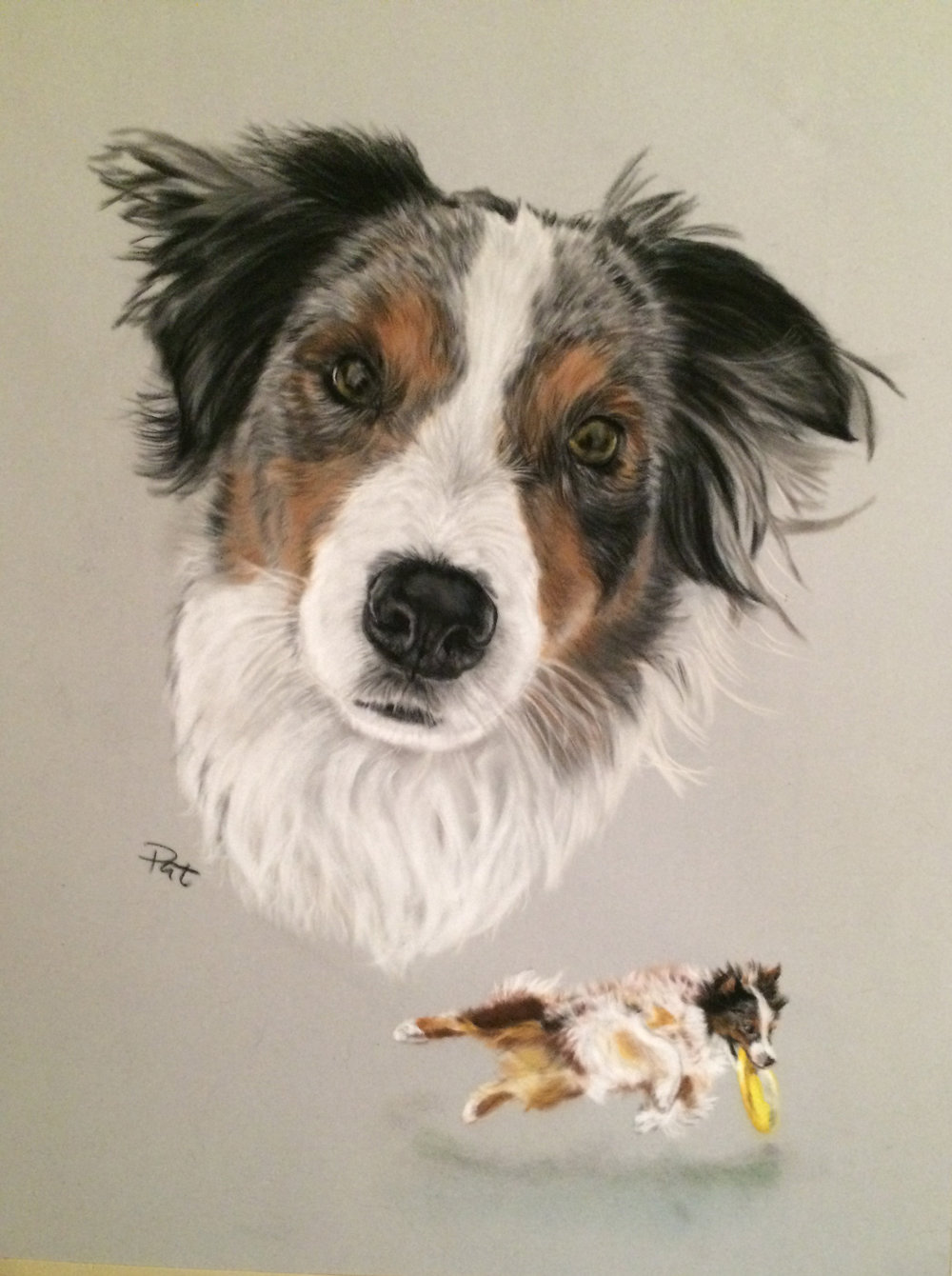 Ryder - Pastel on velour. Beautiful  Australian shepherd who had a long and wonderful career in the sport of disc dog.