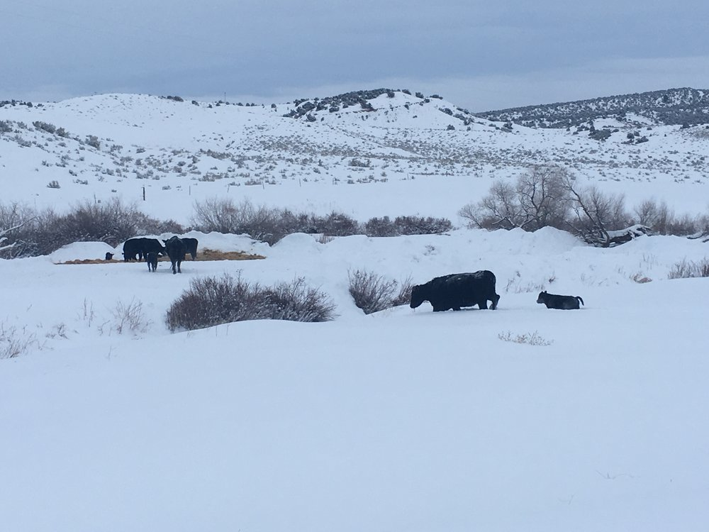 Calves and their mothers making their way to the straw bedding. 2/18/18