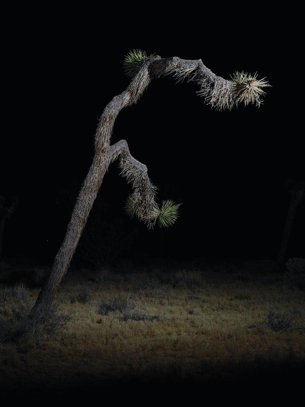 tree #11    70x94 in/180x239cm  1+1AP 60x80 in/152x203cm  2+1AP 45x60 in/114x152cm  3+1AP 30x40 in/75x100cm  5+1AP
