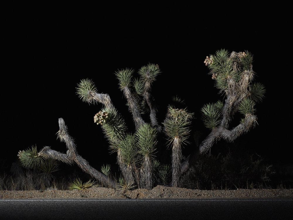 tree #20    70x94 in/180x239cm  1+1AP 60x80 in/152x203cm  2+1AP 45x60 in/114x152cm  3+1AP 30x40 in/75x100cm  5+1AP