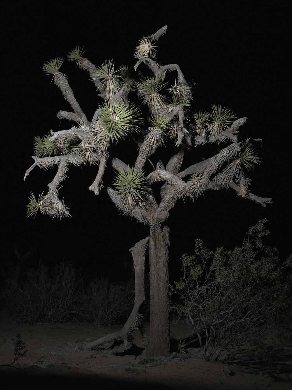 tree #17    70x94 in/180x239cm  1+1AP 60x80 in/152x203cm  2+1AP 45x60 in/114x152cm  3+1AP 30x40 in/75x100cm  5+1AP