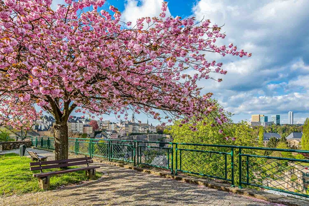 Spring in Luxembourg - Cherry blossoms during spring in Spring in Luxembourg - Cherry on Top