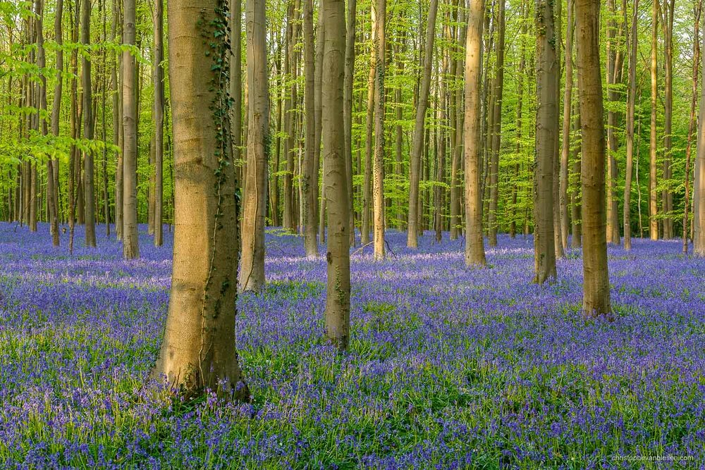 Photography Workshop - Hallerbos - Belgium - The bluebell forest of Halle, known as the Hallerbos, near Brussels, Belgium - Seasonal Amethysts