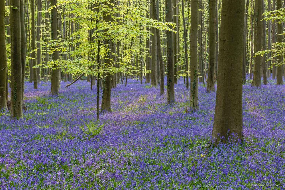 Photography Workshop - Hallerbos - Belgium - The bluebell forest of Halle, known as the Hallerbos, near Brussels, Belgium - Eternal Spring