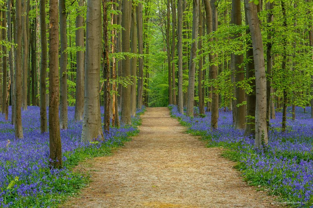 Photography workshop - Hallerbos - Belgium - The bluebell forest of Halle, known as the Hallerbos, near Brussels, Belgium. - Bluebell Avenue