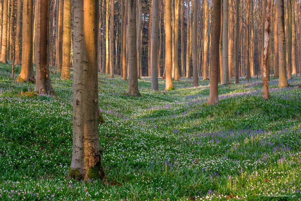 Hallerbos - Belgium - Anemones and bluebells follow each other under the gaze of tall beech trees in the Hallerbos, Belgium's Blue Forest. - Purple White