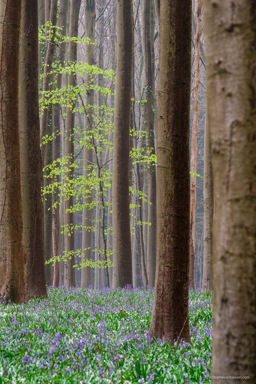 Hallerbos - Belgium - A young beech tree in the distance in Belgium's blue forest - Early Rise