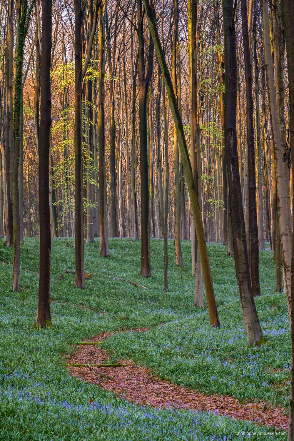Hallerbos - Belgium - Sunrise in the bluebell forest during early spring - First Bluebells