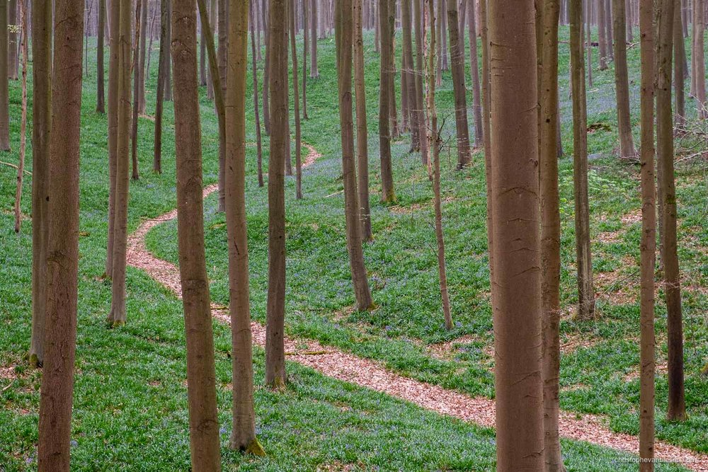 Hallerbos - Belgium - Iconic winding path in Belgium's bluebell forest a few weeks before peak season - Deep into the Forest