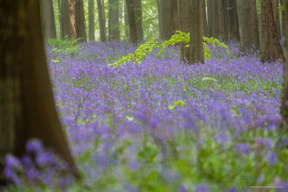 Hallerbos - Belgium - A lone branch hovering just above the purple carpet of bluebells in the Hallerbos - Touching Ground